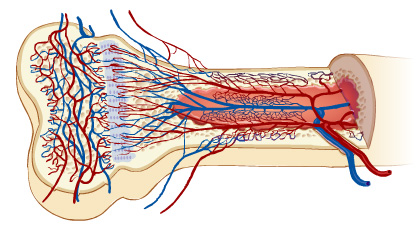 Schematic showing blood supply to a bone. Which evolved first, bone or blood or heart?