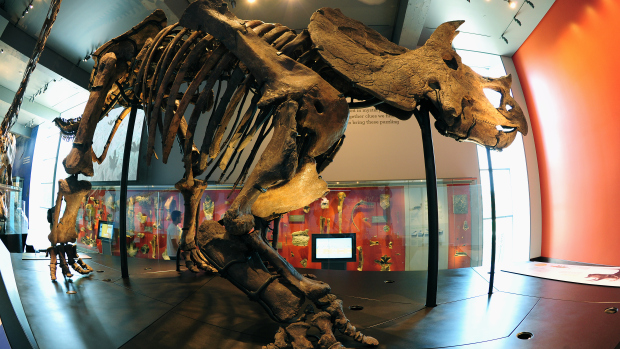 A never-before displayed Triceratops gre
