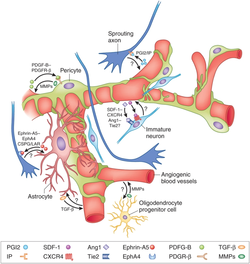 Illustration of blood vessels and nerve fibers
